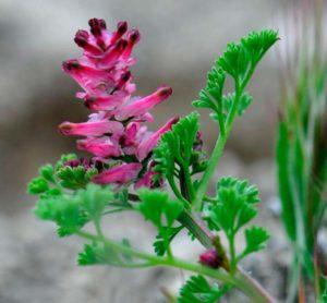 Дымянка аптечная — Fumaria officinalis