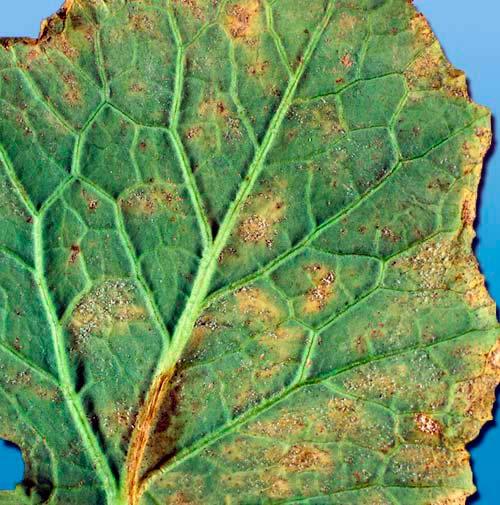 Пероноспороз рапса - Peronospora parasitica