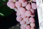 Сорт винограда Днестровский розовый