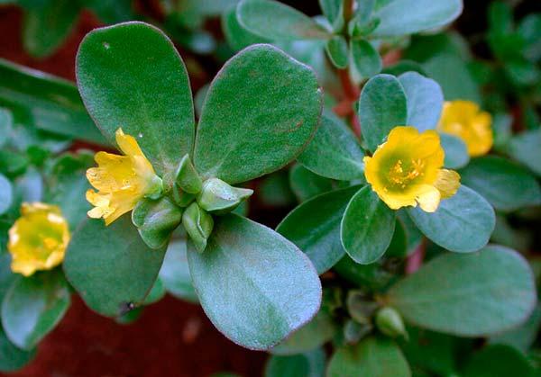Портулак огородный — Portulaca oleracea