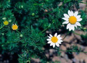 Ромашка пахучая, душистая или аптечная - Chamomilla suaveolens