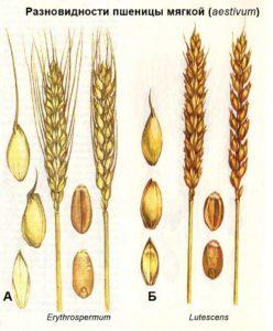 Разновидности пшеницы мягкой (aestivum): А - Erythrospermum; Б - Lutescens