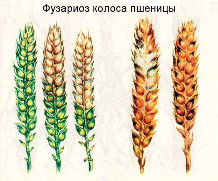 Фузариоз колоса пшеницы: пораженные в различной степени колосья, слева здоровый колос