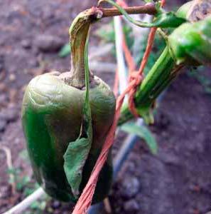 Серая гниль сладкого перца(пораженный плод) - Botrytis cinerea