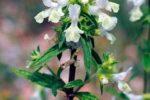 Чистец однолетний — Stachys annua