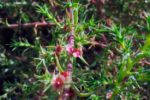 Сорняк солянка обыкновенная - Salsola australis