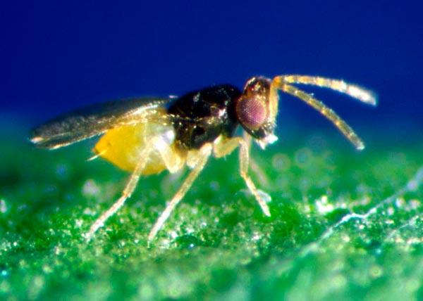 Энкарзия - Encаrsia formosa