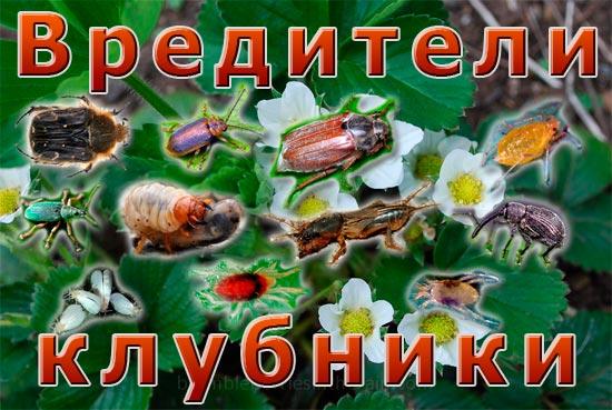 Вредители клубники