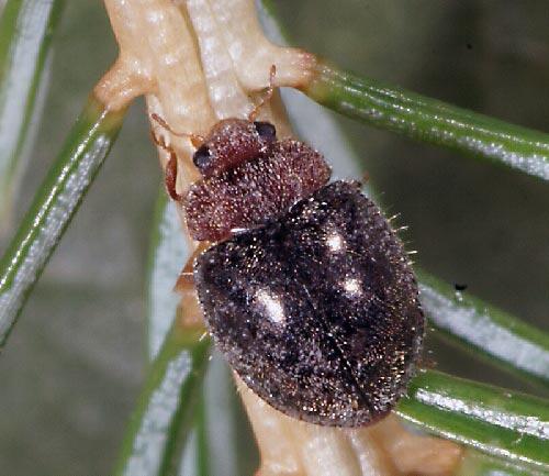 Линдорус – Lindorus (Rhyzobius) lophanthae