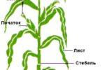 Ботанические характеристики кукузузы
