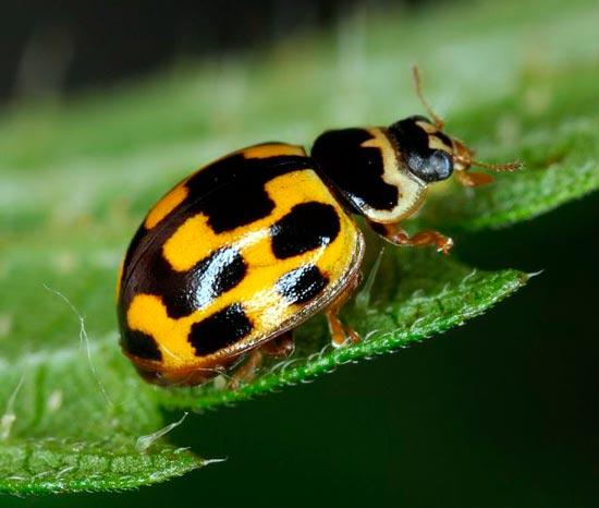 Коровка четырнадцатиточечная – Propylea quatuordecimpunctata