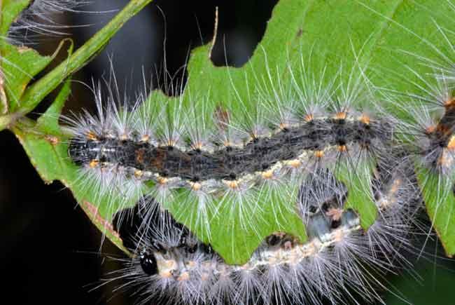 Гусеницы американской белой бабочки - Hyphantria cunea