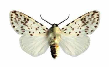 Самец американской белой бабочки - Hyphantria cunea