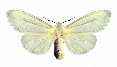 Самка американской белой бабочки - Hyphantria cunea