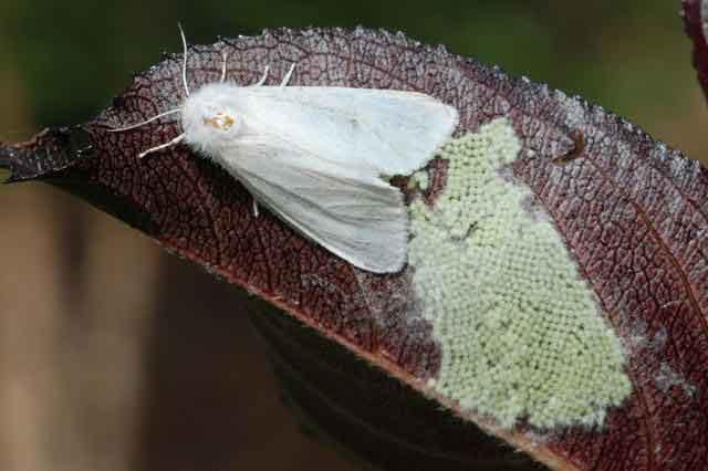 Самка американской белой бабочки откладывает яйца - Hyphantria cunea