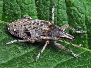 Долгоносик свекловичный обыкновенный – Bothynoderes punctiventris