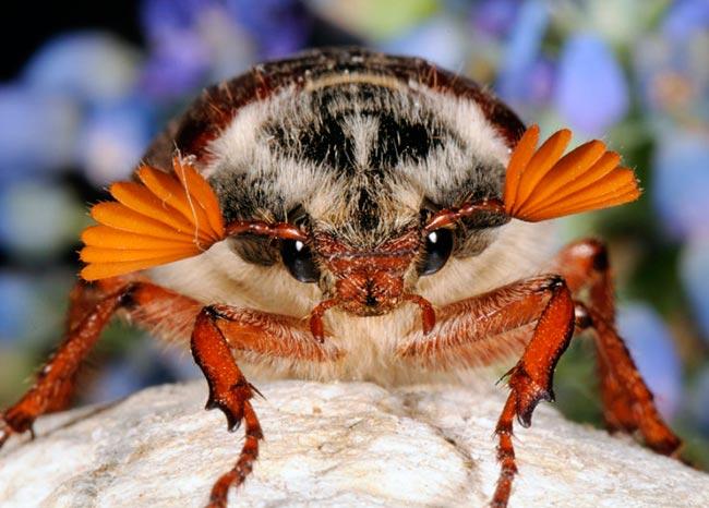Майский жук - Melolontha melolontha