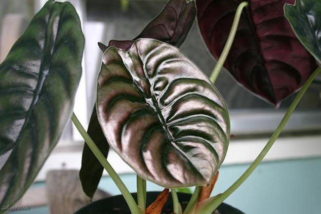 Алоказия Медно-красная – Alocasia cuprea