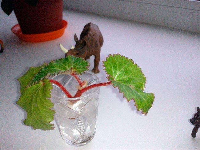 Размножение бегонии черенками