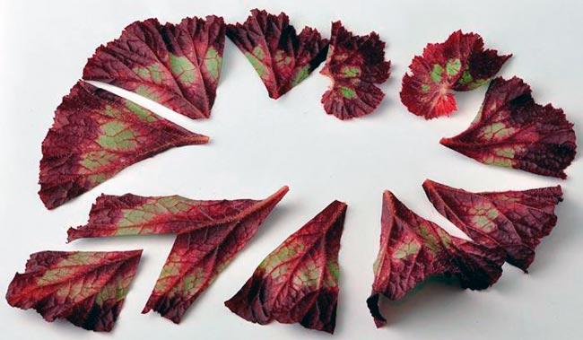 Размножение бегонии с помощью листьев