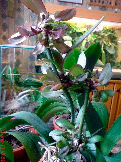 Детки после стимулирования орхидеи цитокининовой пастой