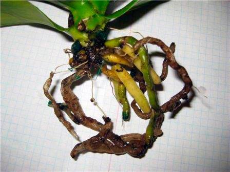 Осмотр орхидеи, при пересадке, на наличие гнилых корней