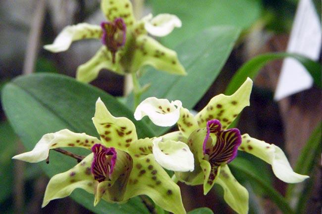 Орхидея Дендробиум -  Dendrobium