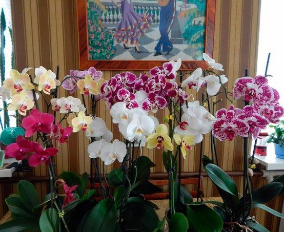 Орхидеи Фаленопсис – Phalaenopsis