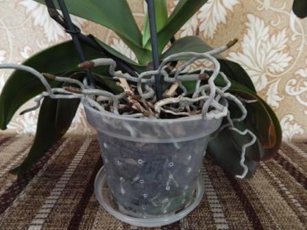 Здоровая орхидея