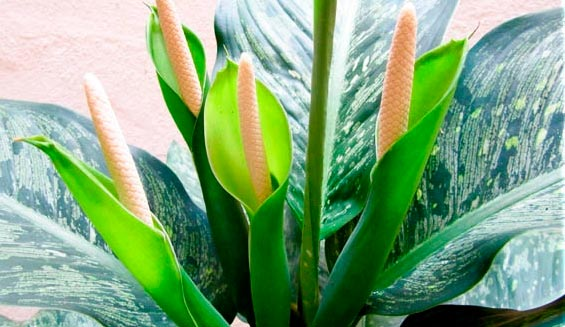 Диффенбахия цветение
