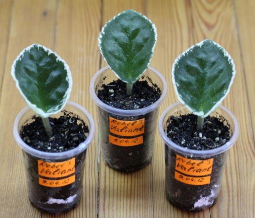 Размножение фиалки листом в грунте