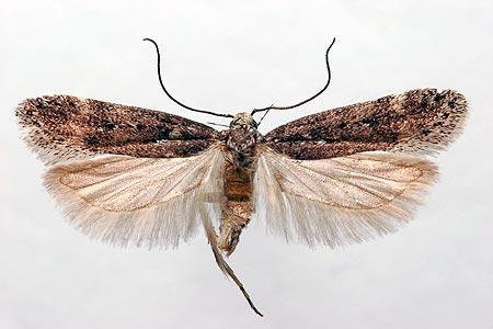 Свекловичная минирующая моль – Scrobipalpa ocellatella