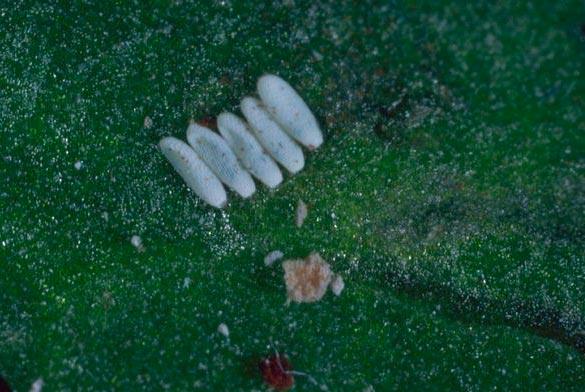 Яйцекладка свекловичной мухи