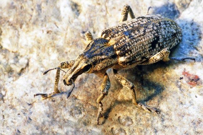 Свекловичный долгоносик – Bothynoderes punctiventris