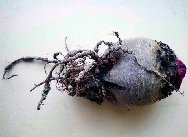 Свекловична нематода – Heterodera schachtii
