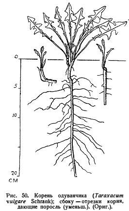 Корневая система одуванчика лекарственный - Taraxacum officinale