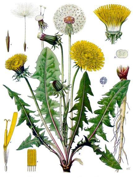 Одуванчик лекарственный - Taraxacum officinale