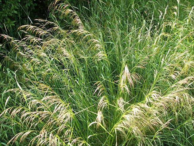 Щучка дернистая или луговик дернистый (лат. Deschampsia cespitosa)