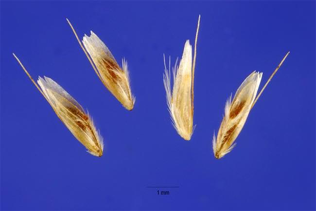 Семена щучки дернистой (лат. Deschampsia cespitosa)
