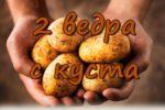 2 ведра картошки с куста