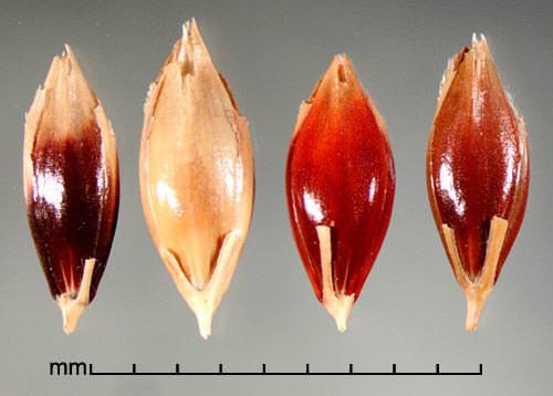 Гумай семена (лат. Sorghum halepense)