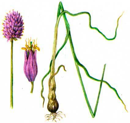 Лук круглый (лат. Allium rotundum)