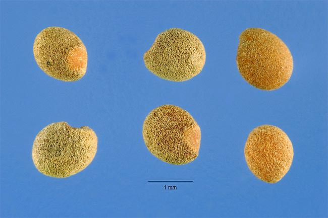 Повилика клеверная (Cuscuta epithymum)