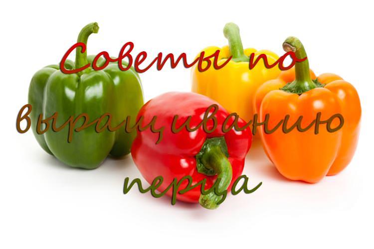 Советы по выращиванию перца