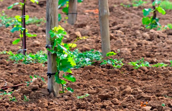 Как садить виноград: уход за саженцами