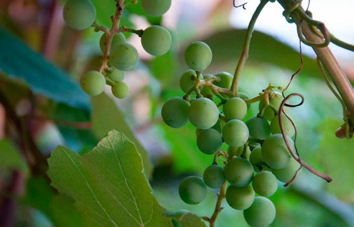 Посадка винограда и уход за ним после посадки