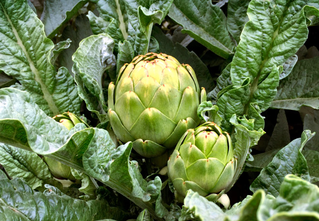 Артишок: фото овоща