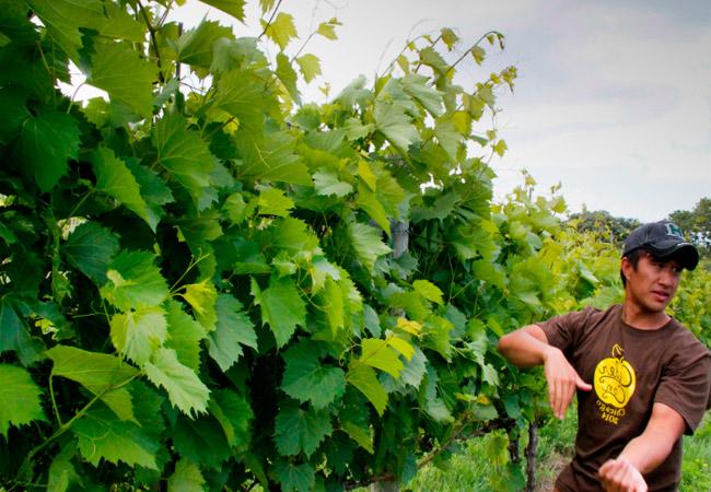Как правильно обрезать пасынки на винограде в июне