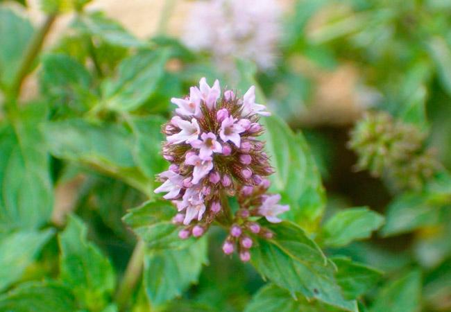 Мята: фото цветов растения