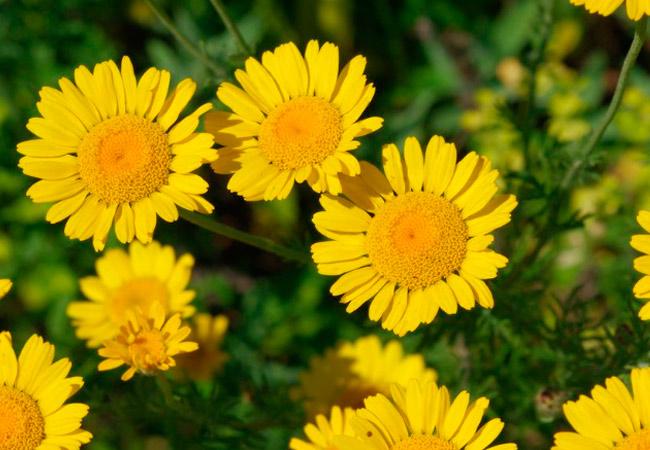 Желтая ромашка полезные свойства